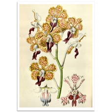 Botanical Poster - Vanda Tricolor Orchid